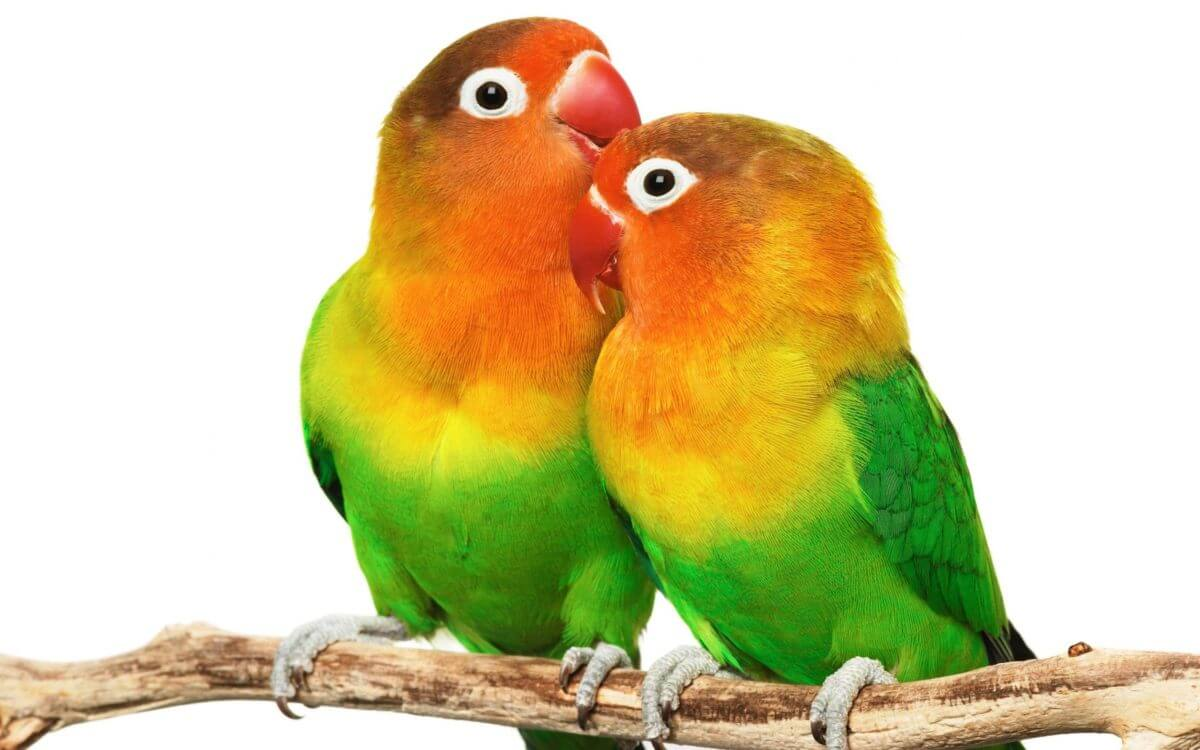 Love Birds couple Wallpaper : Papagan, konusan papaganlar, loulou blog