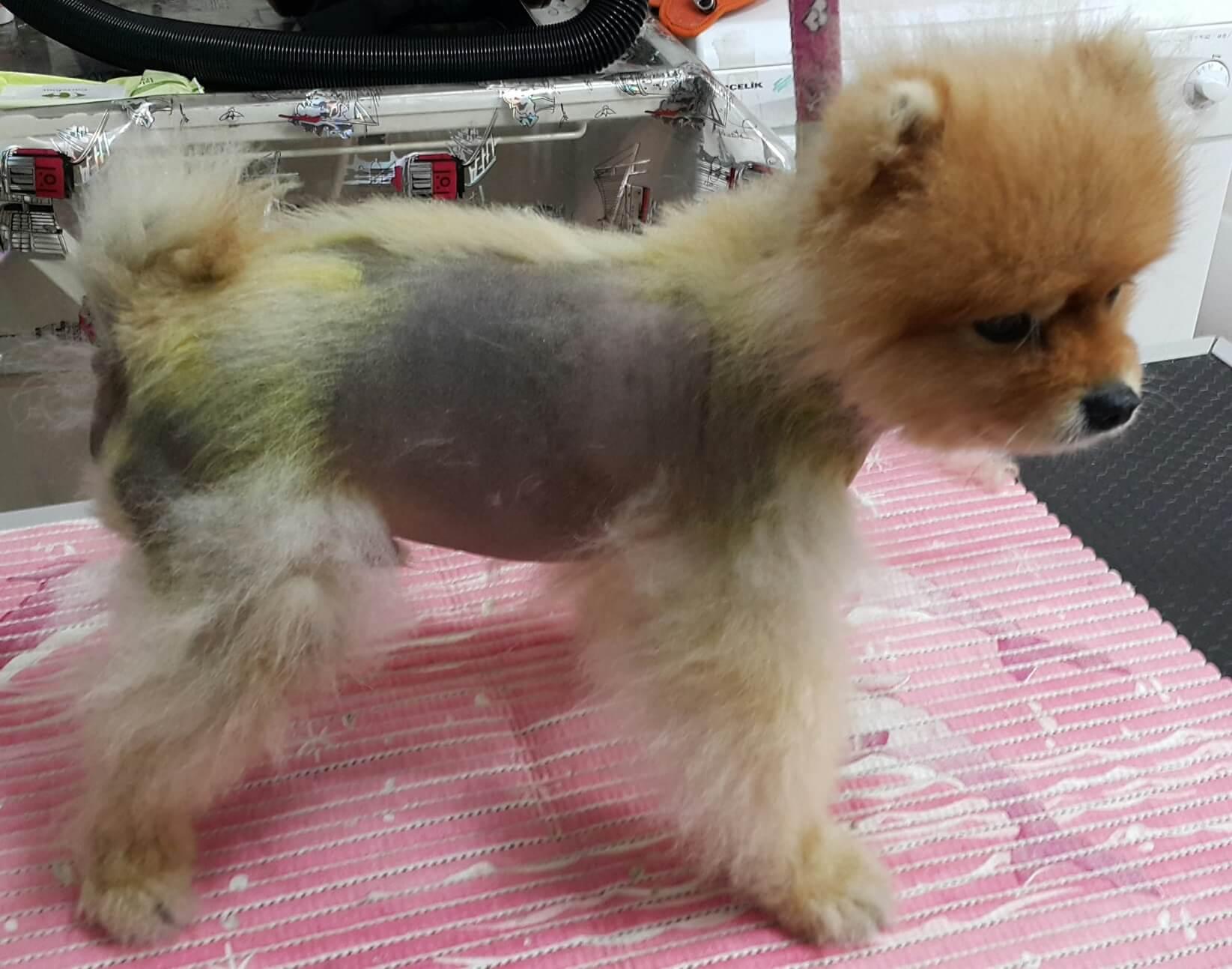 bsd-loulou-pet-alopesi-alopeciax-2